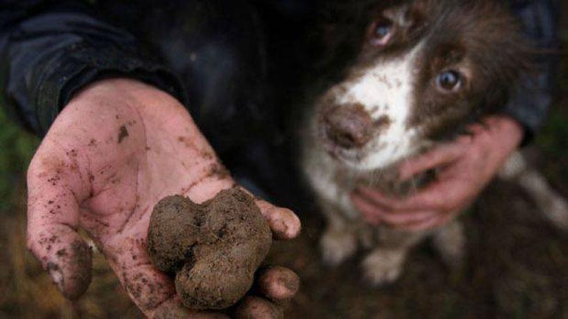 stellar-1-altitude-truffle-menu-manjimup-black-truffles-hunting-dog
