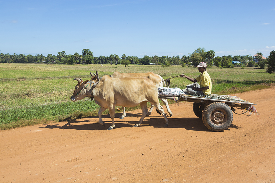 Ox cart in rural Cambodia